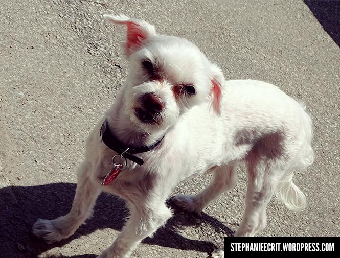 Mon chien whippet